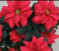 different kind of leave poinsettia